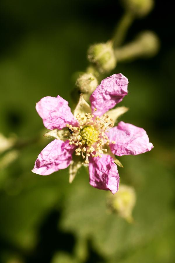 Bella arte macra del fondo de la familia del Rosaceae de los occidentalis del Rubus de la flor en los productos de alta calidad d foto de archivo
