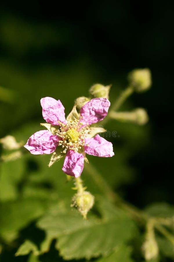 Bella arte macra del fondo de la familia del Rosaceae de los occidentalis del Rubus de la flor en los productos de alta calidad d fotografía de archivo