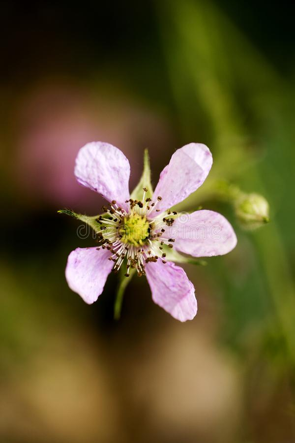 Bella arte macra del fondo de la familia del Rosaceae de los occidentalis del Rubus de la flor en los productos de alta calidad d imagen de archivo