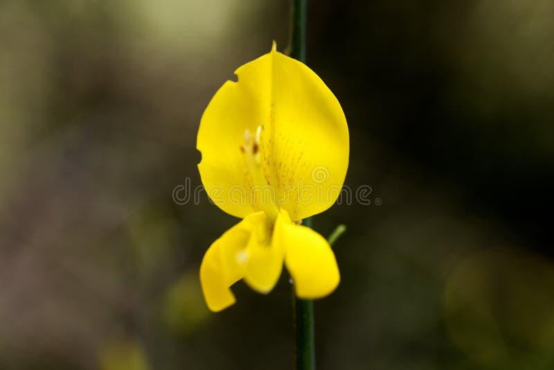 Bella arte macra del fondo del flor de la flor salvaje del Cytisus en los productos de alta calidad de las impresiones 50,6 megap fotografía de archivo libre de regalías