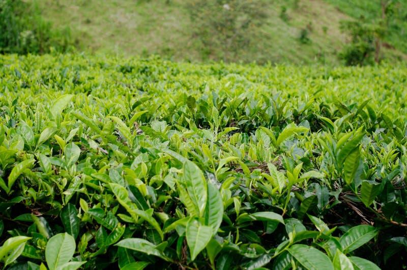 Bella azienda agricola del tè immagini stock