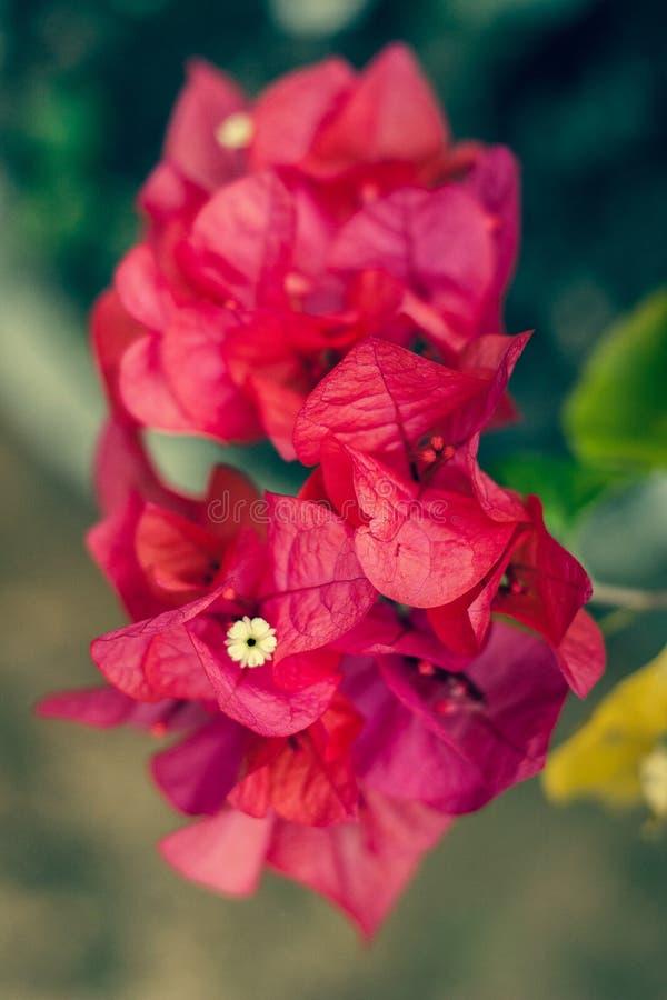 Bella buganvillea rossa fotografia stock