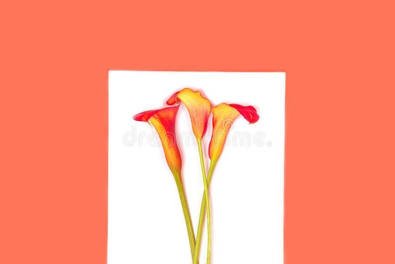 Bella calla rossa dei fiori sull'anno di corallo d'avanguardia di colore su fondo bianco, isolato immagine stock libera da diritti