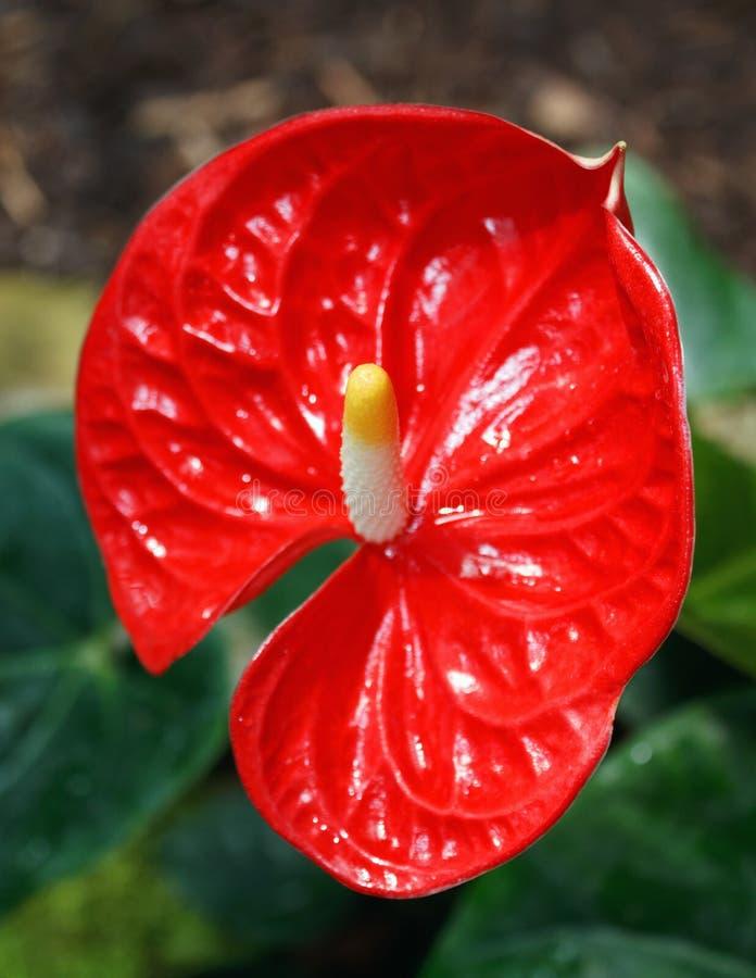 Bella calla rossa su fondo all'aperto in giardino fotografia stock