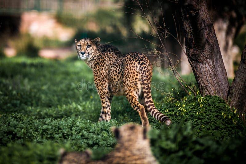 Bella camminata selvaggia attenta sui campi verdi, fine del ghepardo su immagine stock
