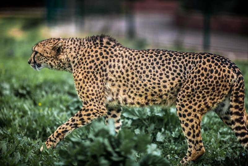 Bella camminata selvaggia attenta sui campi verdi, fine del ghepardo su fotografie stock