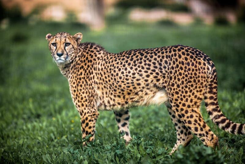 Bella camminata selvaggia attenta sui campi verdi, fine del ghepardo su immagine stock libera da diritti