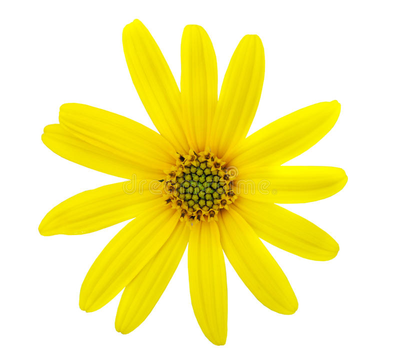 Bella camomilla gialla immagini stock