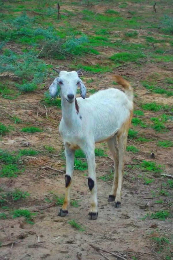 Bella capra bianca del sud dell'India nel campo fotografia stock