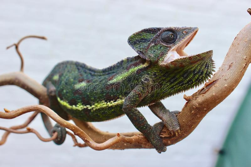Bella is a chameleon stock photography