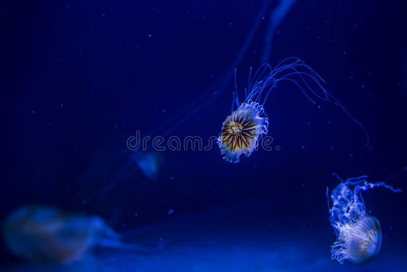 Bella chrysaora illuminata Pacifica delle meduse immagini stock libere da diritti