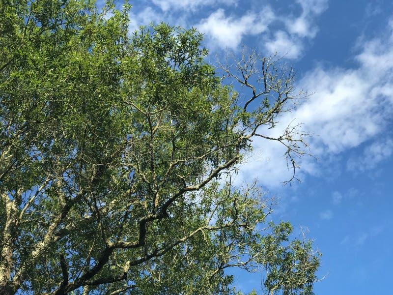 Bella cima dell'albero e chiari cieli immagine stock libera da diritti