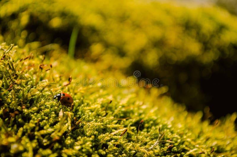 Bella coccinella che si siede sul muschio verde fresco fotografia stock