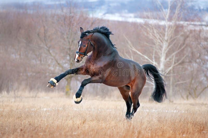 Bella corsa di cavalli marrone che galoppa attraverso il campo su una foresta di autunno del fondo fotografie stock libere da diritti