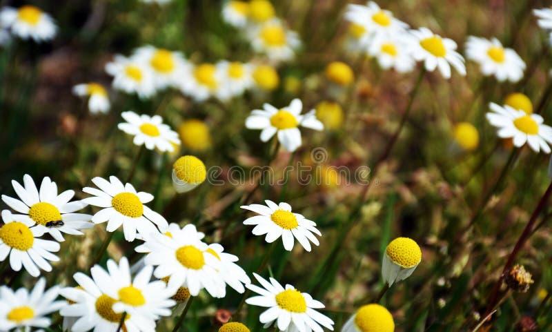 Bella Daisy Flowers selvaggia immagine stock libera da diritti