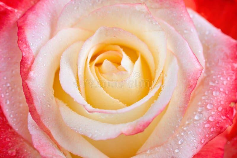 Bella di rosa colorata multi con rugiada cade il primo piano Per le cartoline d'auguri fotografia stock libera da diritti