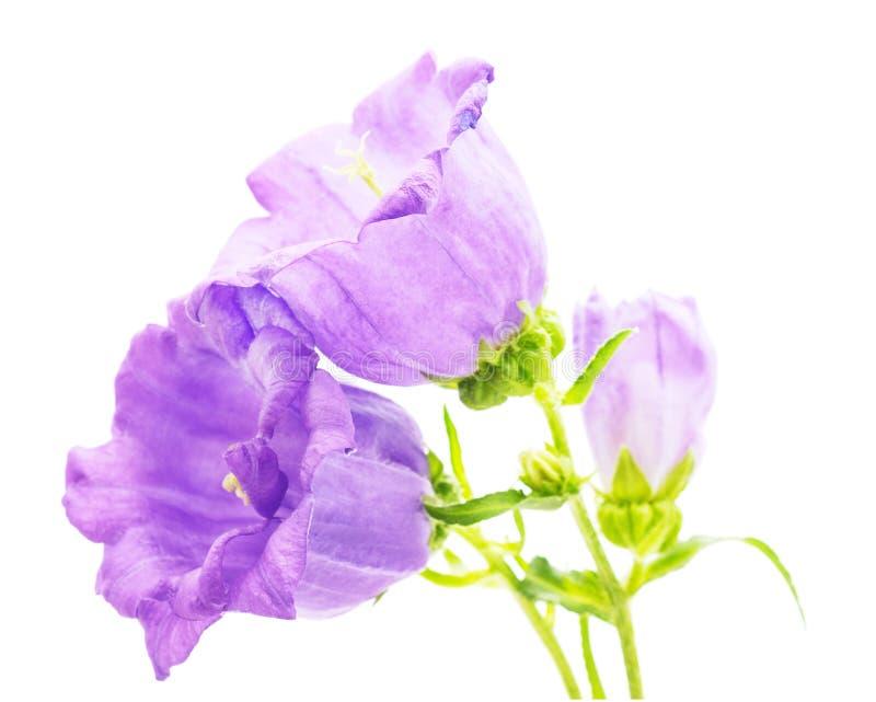 Bella digitale purpurea fotografia stock