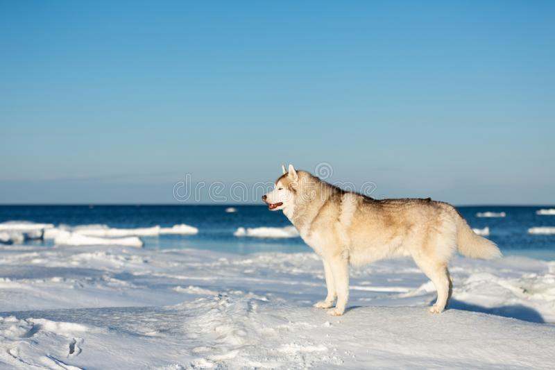 Bella e condizione libera del cane del husky siberiano sulla banchisa sui precedenti congelati del mare di Ochotsk fotografia stock