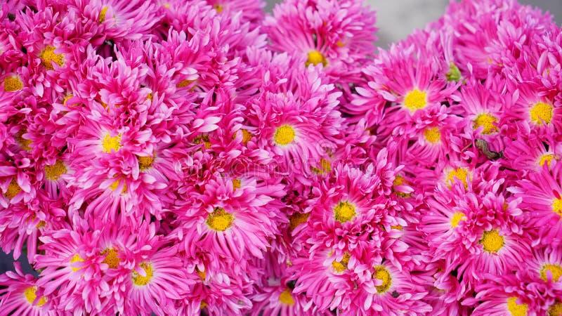 Bella e fioritura variopinta del fiore del crisantemo in autunno fotografie stock