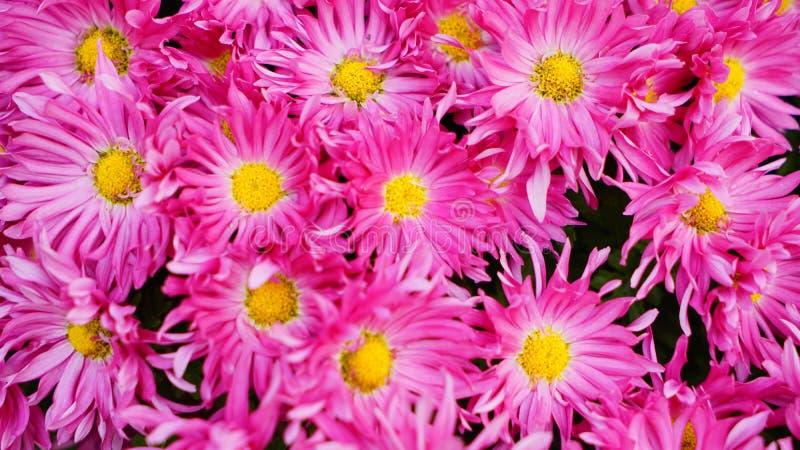 Bella e fioritura variopinta del fiore del crisantemo in autunno fotografia stock libera da diritti