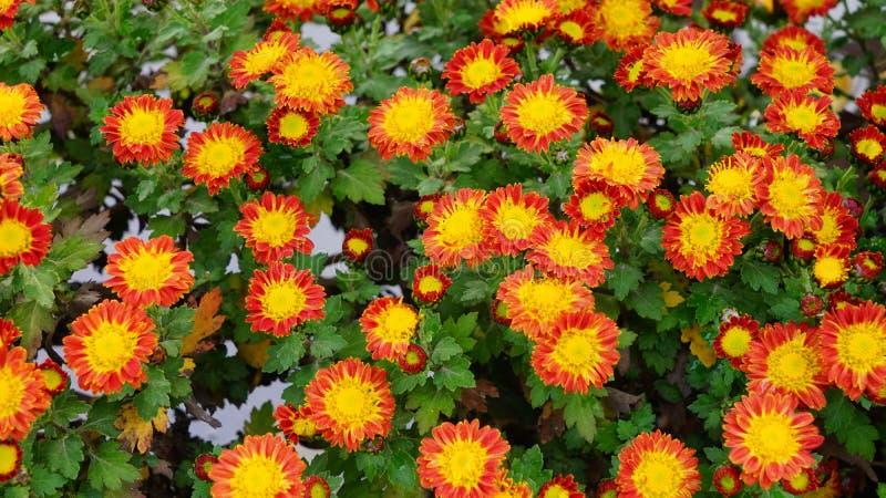 Bella e fioritura variopinta del fiore del crisantemo in autunno fotografie stock libere da diritti
