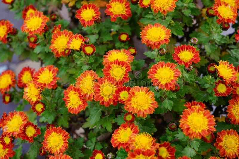 Bella e fioritura variopinta del fiore del crisantemo in autunno immagine stock