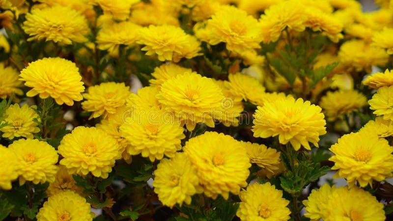 Bella e fioritura variopinta del fiore del crisantemo in autunno immagini stock