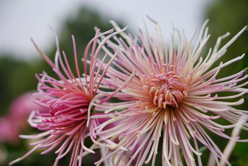 Bella e fioritura variopinta del fiore del crisantemo in autunno immagine stock libera da diritti