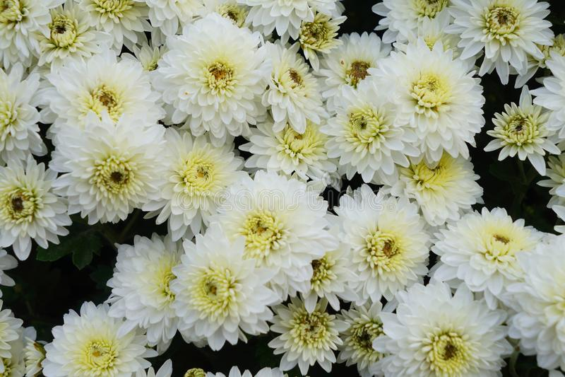 Bella e fioritura variopinta del fiore del crisantemo in autunno fotografia stock