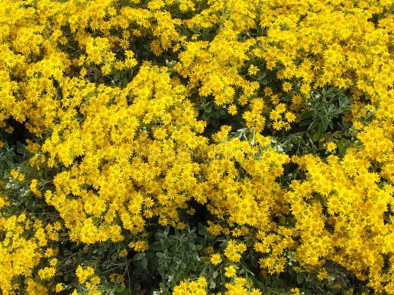 Bella e gerbera gialla allegra luminosa selvatica Daisy Flowers in fioritura nei precedenti del giardino del parco Pianta di vita fotografia stock