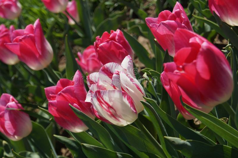 Bella e macro magica del fiore e della foglia di rosa della primavera immagine stock libera da diritti