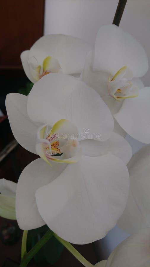 Bella ed orchidea delicata fotografia stock libera da diritti