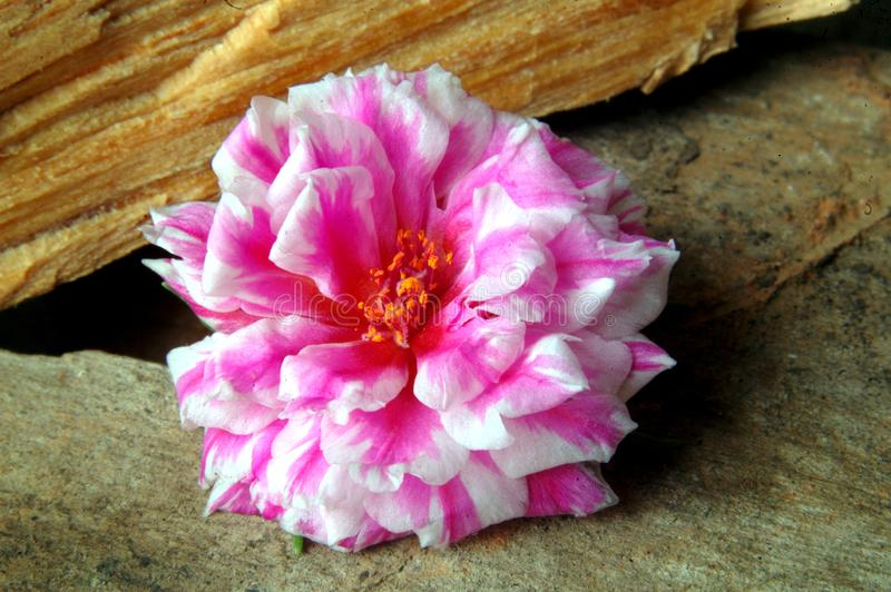 Bella at eleven or Mañanita. Flower of varied colors and textures. She is known as Bella a las Eleven, Mañanita, Verdolaga de Flor, Flor de Seda. It is stock photography