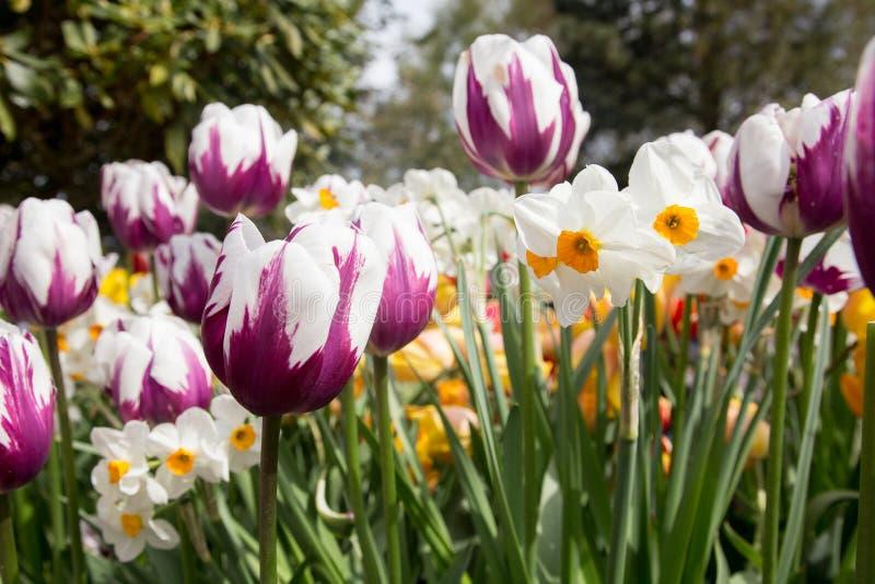 Bella esposizione dei tulipani bianchi con le marcature rosso-acceso e del narciso bianco immagini stock libere da diritti