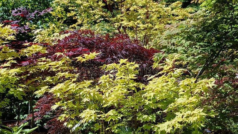 Bella esposizione di multi alberi di acero di colore fotografia stock