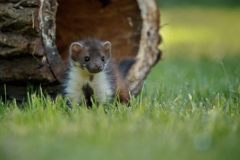 Bella faina sveglia, animale della foresta, foina di martes immagine stock