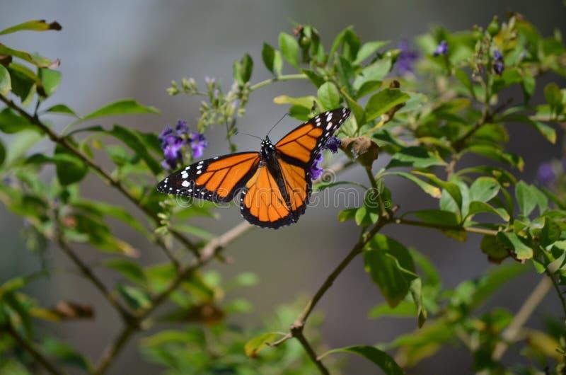Bella farfalla arancio del viceré pronta a decollare immagine stock libera da diritti