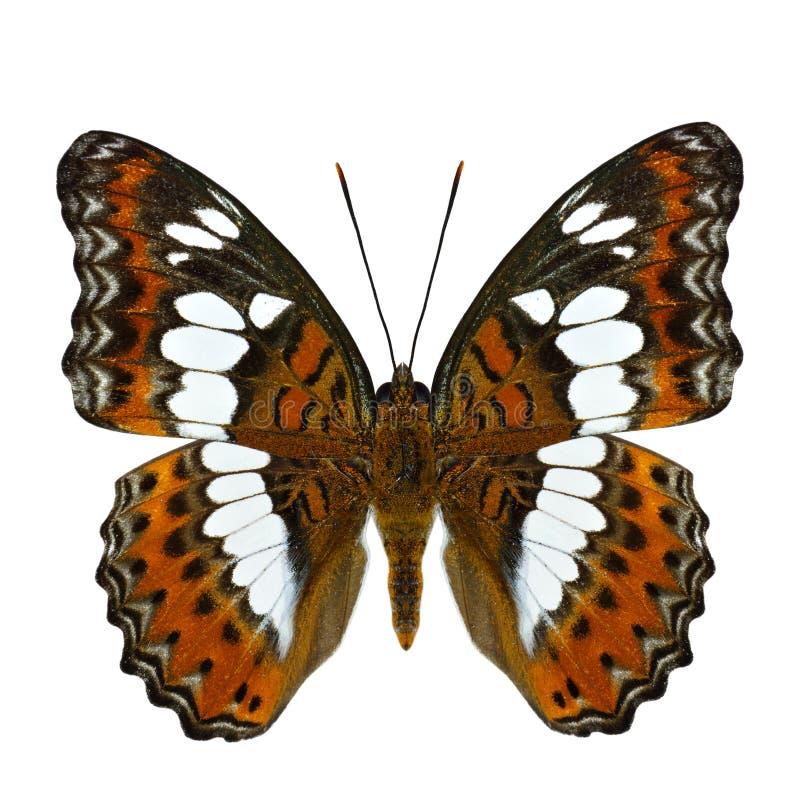 Bella farfalla arancio, procris comuni di moduza di comandante su fotografie stock