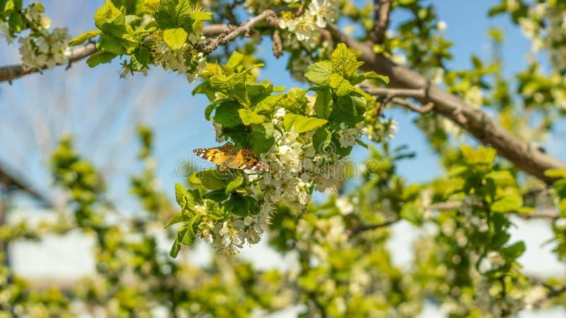 Bella farfalla che riposa su un ramo e su un fiore di albero immagine stock
