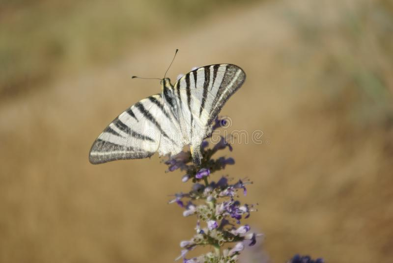 Bella farfalla che si appollaia sul fiore fotografia stock libera da diritti