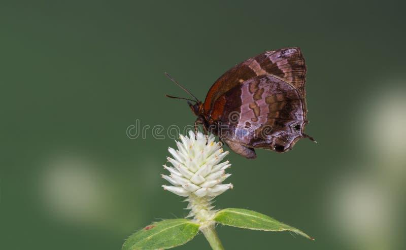 Bella farfalla che si appollaia sul fiore bianco immagini stock