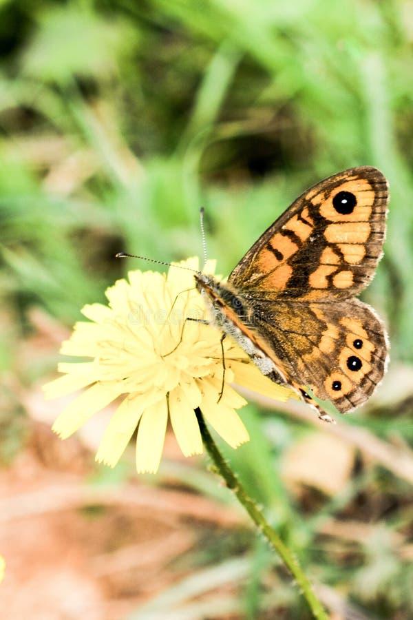 Bella farfalla che si appollaia sul fiore fotografia stock