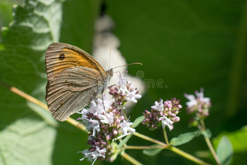 Bella farfalla che si appollaia sul fiore immagine stock