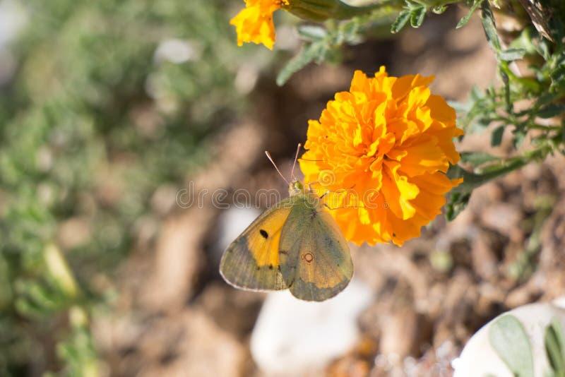 Bella farfalla che si appollaia sul fiore fotografie stock