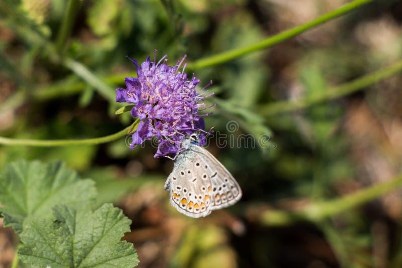 Bella farfalla che si appollaia sul fiore fotografie stock libere da diritti