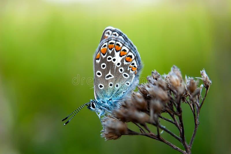Bella farfalla che si siede sul fiore e sull'alimentazione Macro dettaglio della creatura minuscola Stagione primaverile, repubbl fotografia stock