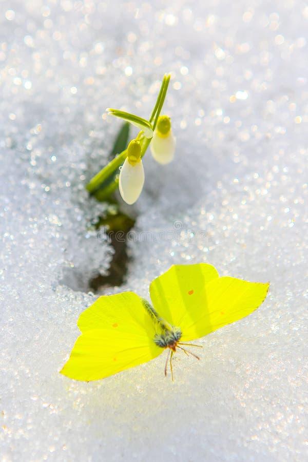 Bella farfalla con le ali spante sotto il fiore di bucaneve che esce dalla neve reale Chiuda su con il fuoco selettivo immagini stock