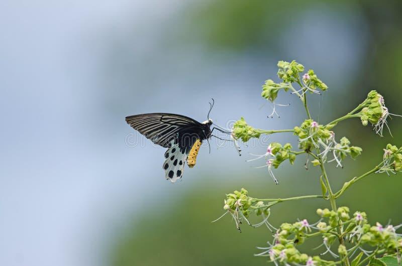 Bella farfalla del Batwing di Whitehead sul fiore immagini stock