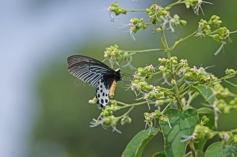Bella farfalla del Batwing di Whitehead sul fiore fotografia stock libera da diritti