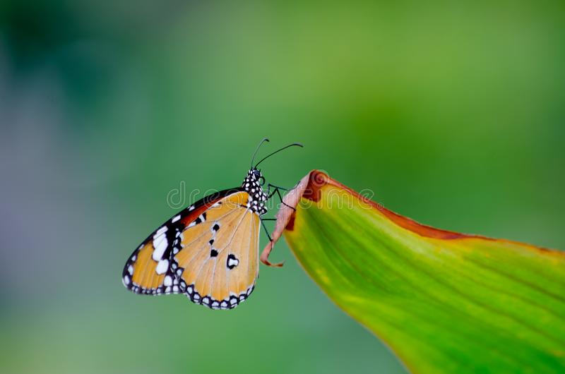 Bella farfalla del primo piano su variopinto di verde e della natura della foglia fotografie stock